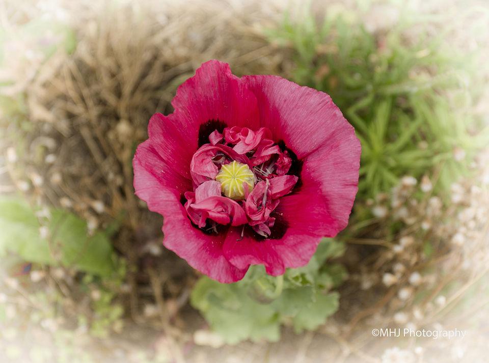 Flower - Poppy Red insides