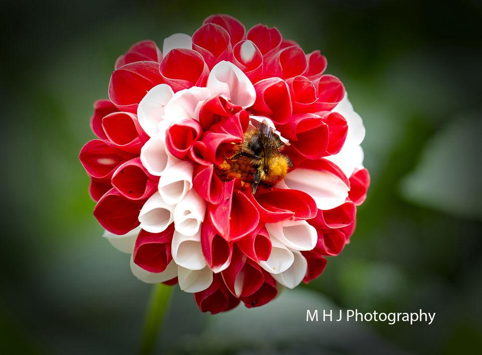 Flower Bee working