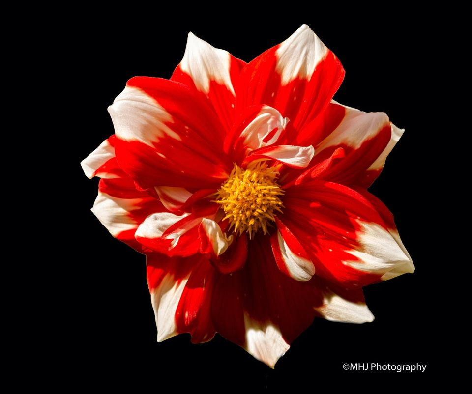 Flower Red and white dehlia