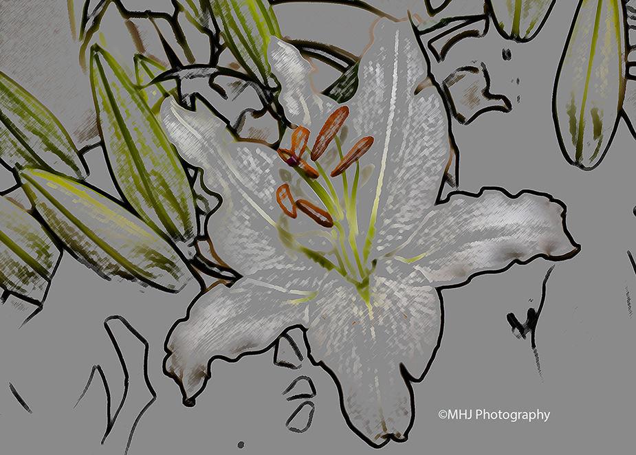 Flower White Lilly