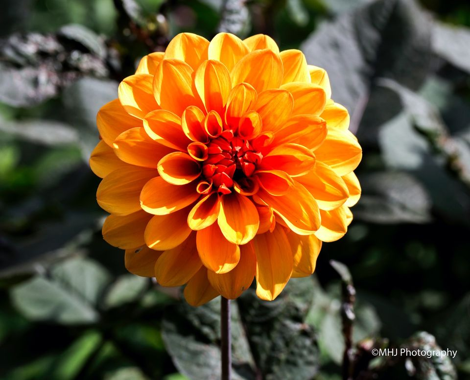 Flower Yellow Dehlia