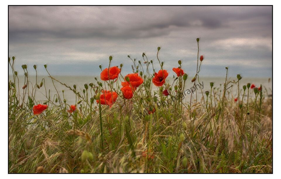 Poppies with a sea view