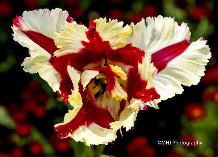 flower St Geogre colours