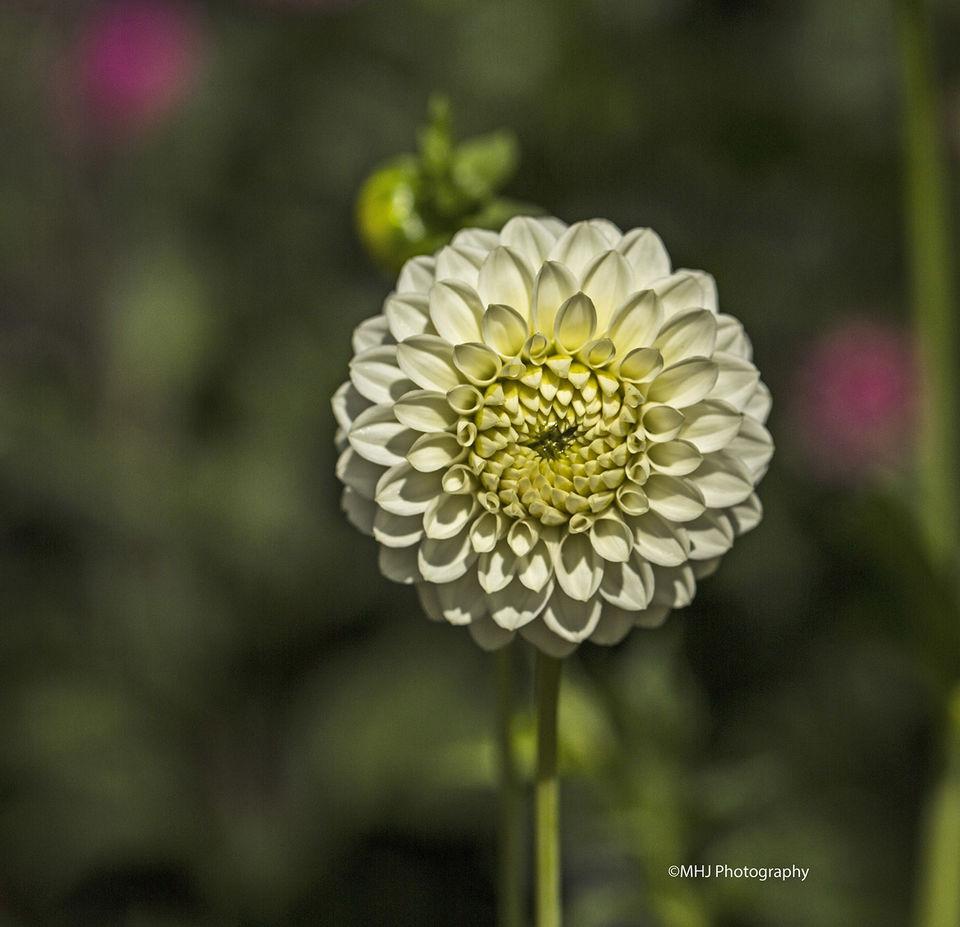 flower White Dehlia