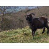 Cheddar Gorge Goats