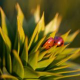Monkey Puzzle Tree with ladybirds