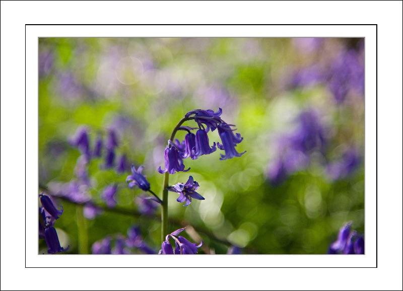 Dreamy Bluebell