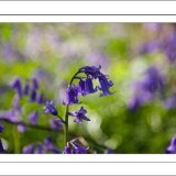 Dreamy Bluebell