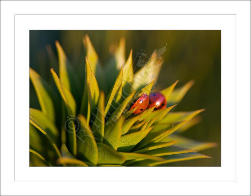 Ladybirds in the Sun