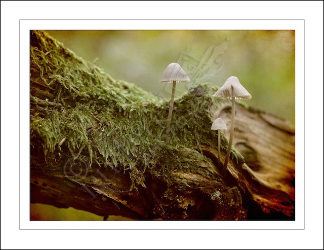 Ancient Woodland Mushrooms