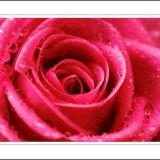 Rain Kissed Rose
