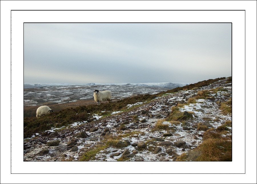 Sheep on Stanage