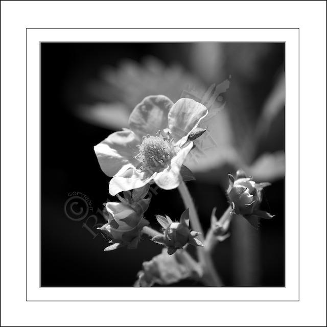 Strawberry Flower in Monochrome