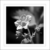Strawberry Flower in Monochrome