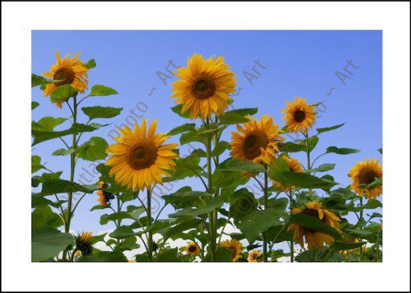 Summer Sunflowers...