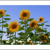 Summer Sunflowers...
