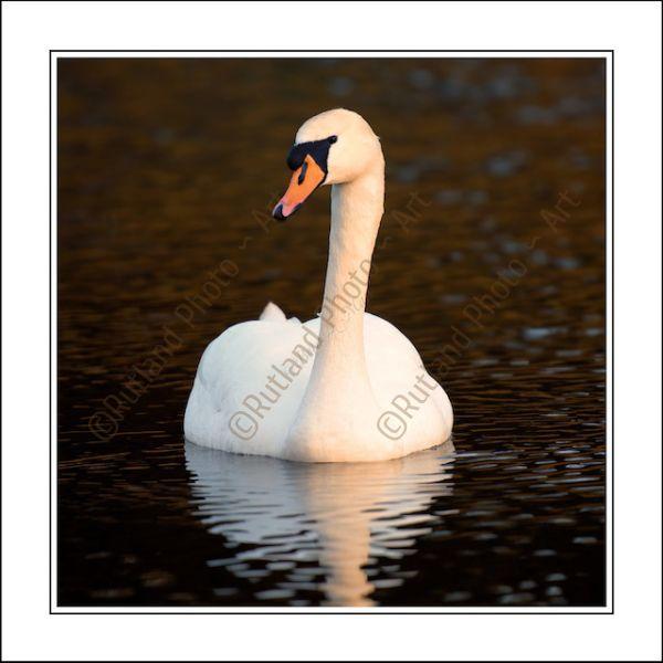 Sun bathed Swan
