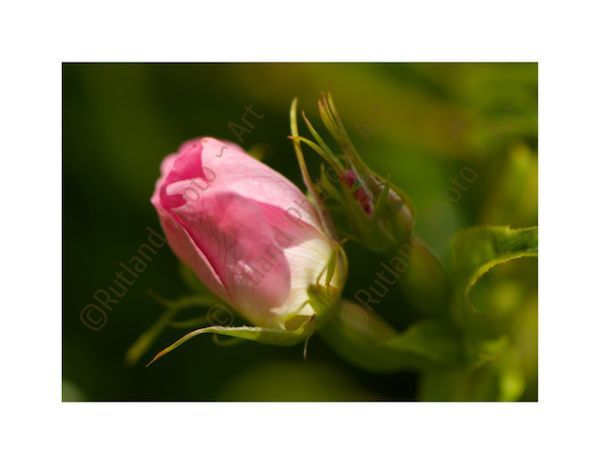 Wild Rose bud