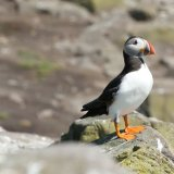 Farne Islands Puffin