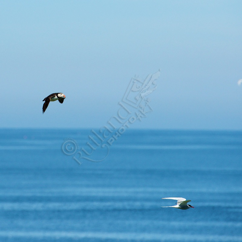 Puffin and Arctic Tern in flight