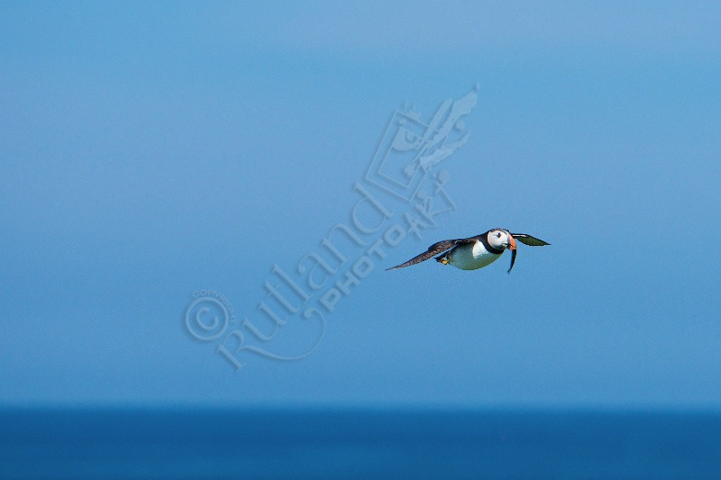 Farne Island Puffin in Flight.
