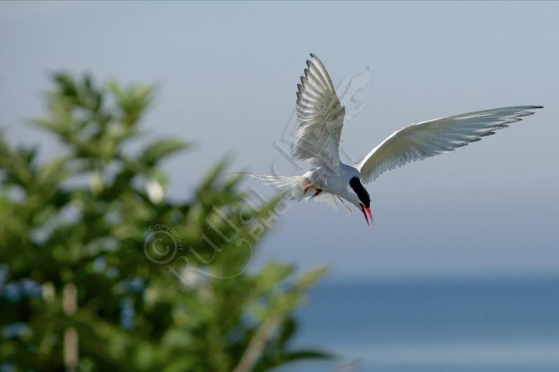 Arctic Tern on Farne