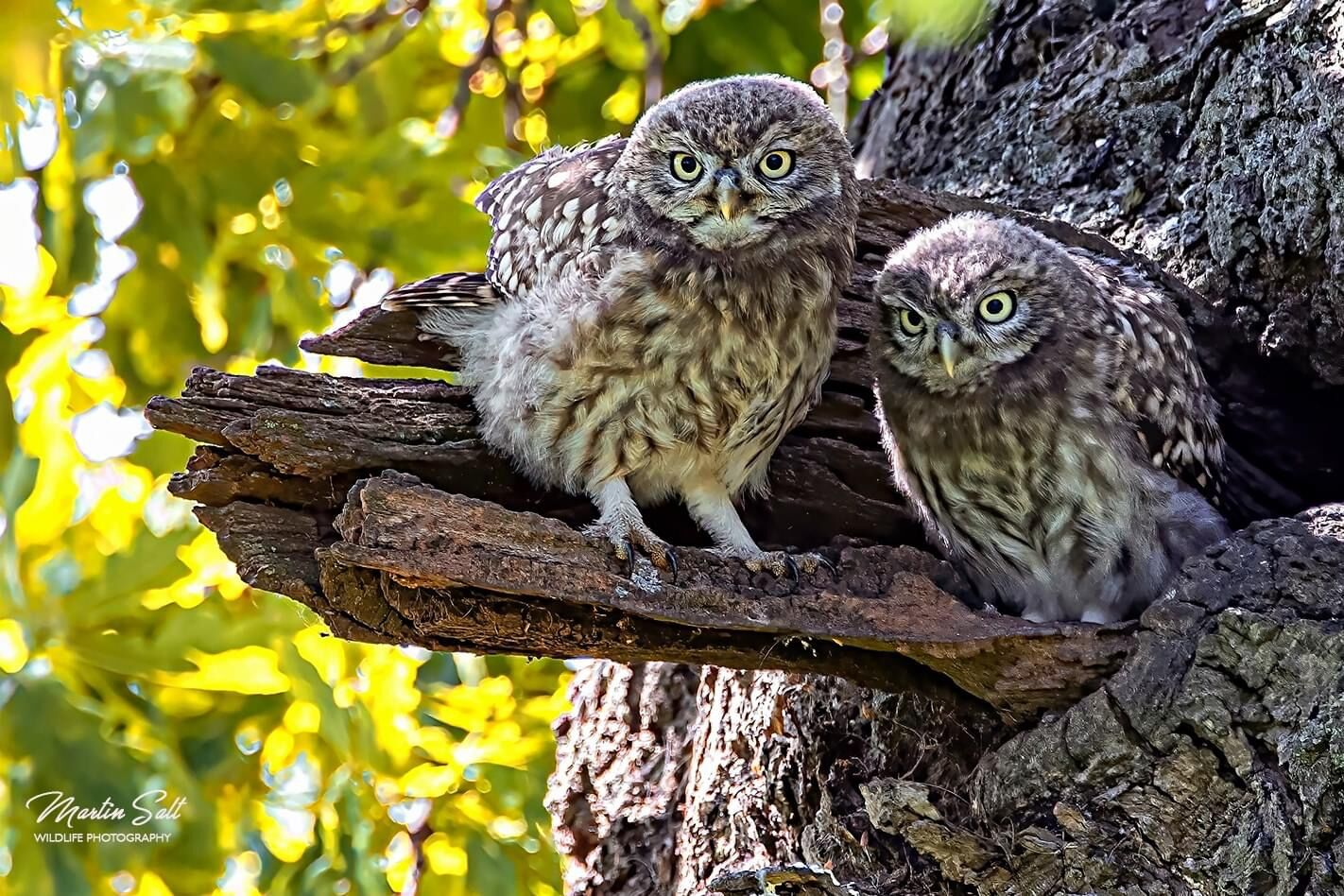 Little Owl owlets