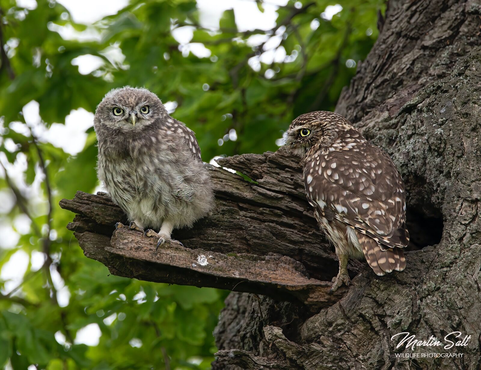 Little owl. Parent and young