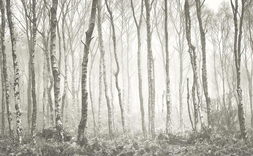 Birch Forest Winter