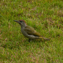 A Very Friendly Green Woodpecker