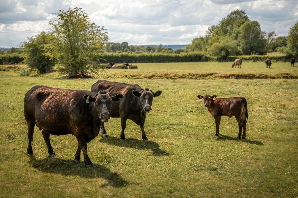 Kingham Cows and Calf