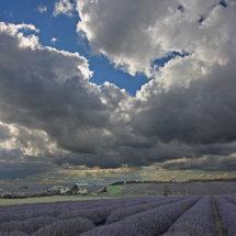 A Portrait of Lavender