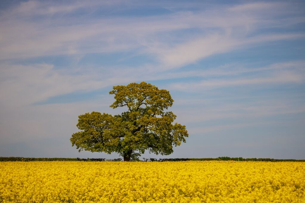 Yellow Field of Oil Seed