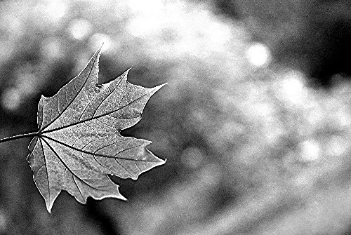 BW1016 Last Autumn Leaf