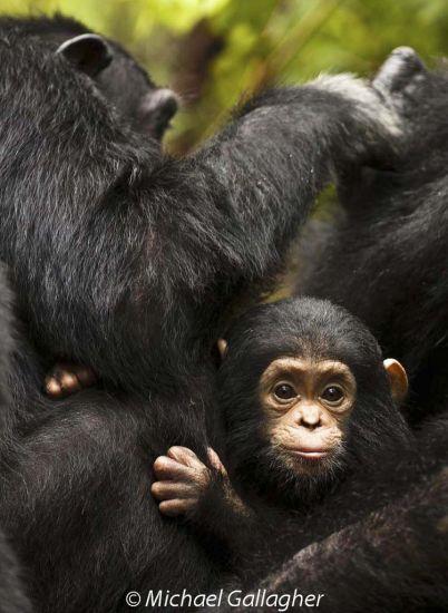 Chimpanzee Family Portrait