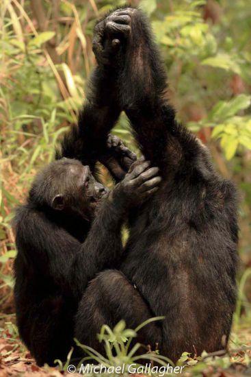 Chimpanzees - Mahale Handclasp
