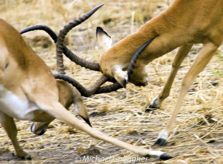 Impala Fighting