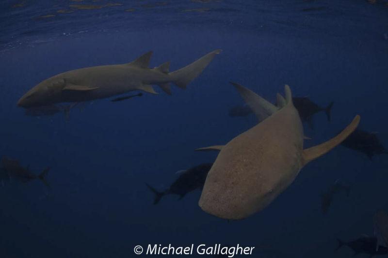 Tawny Nurse Sharks