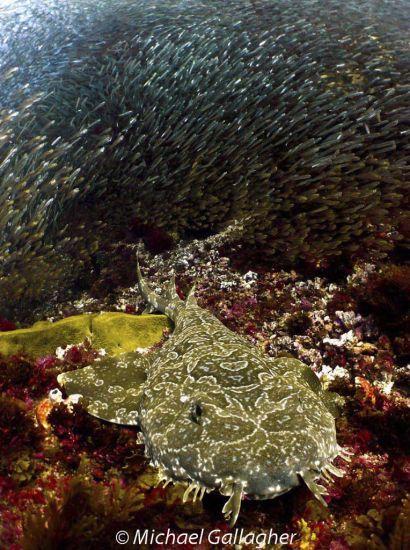 Wobbegong Shark and Glassfish