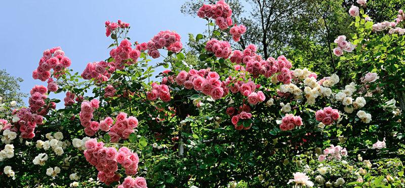Sensational Roses