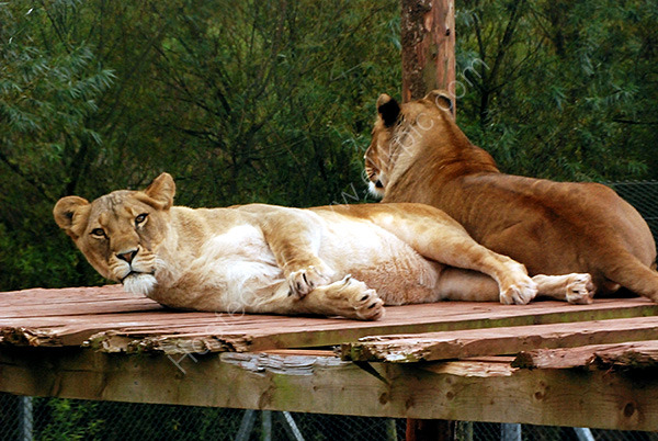 Suspicious Lioness