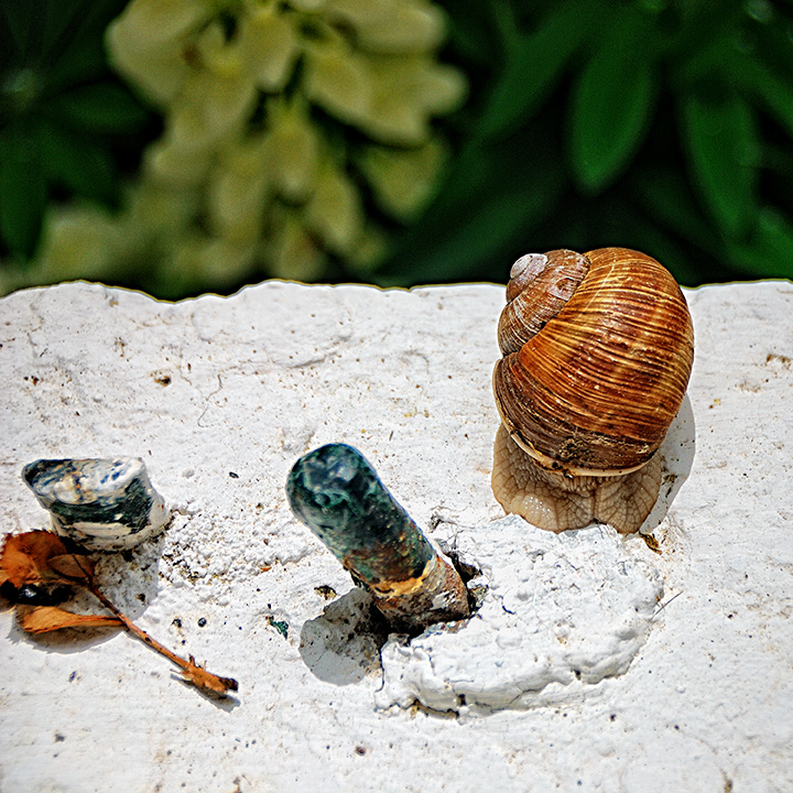 Roman Snail on a Window Sill