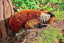 Sleeping Red Ruffed Lemur