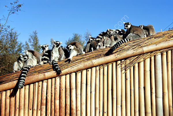 A Shed-Load of Lemurs