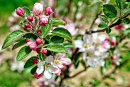 Apple Blossom to Make the Heart Sing