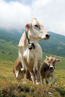 Cows on Monte Baldo