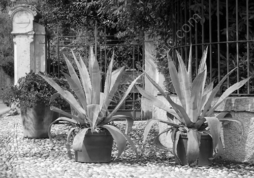 Two Potted Agaves