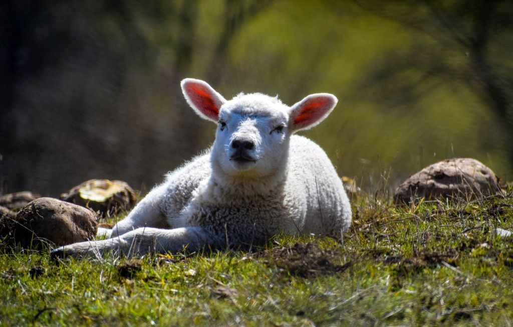 New lamb, just relaxing.