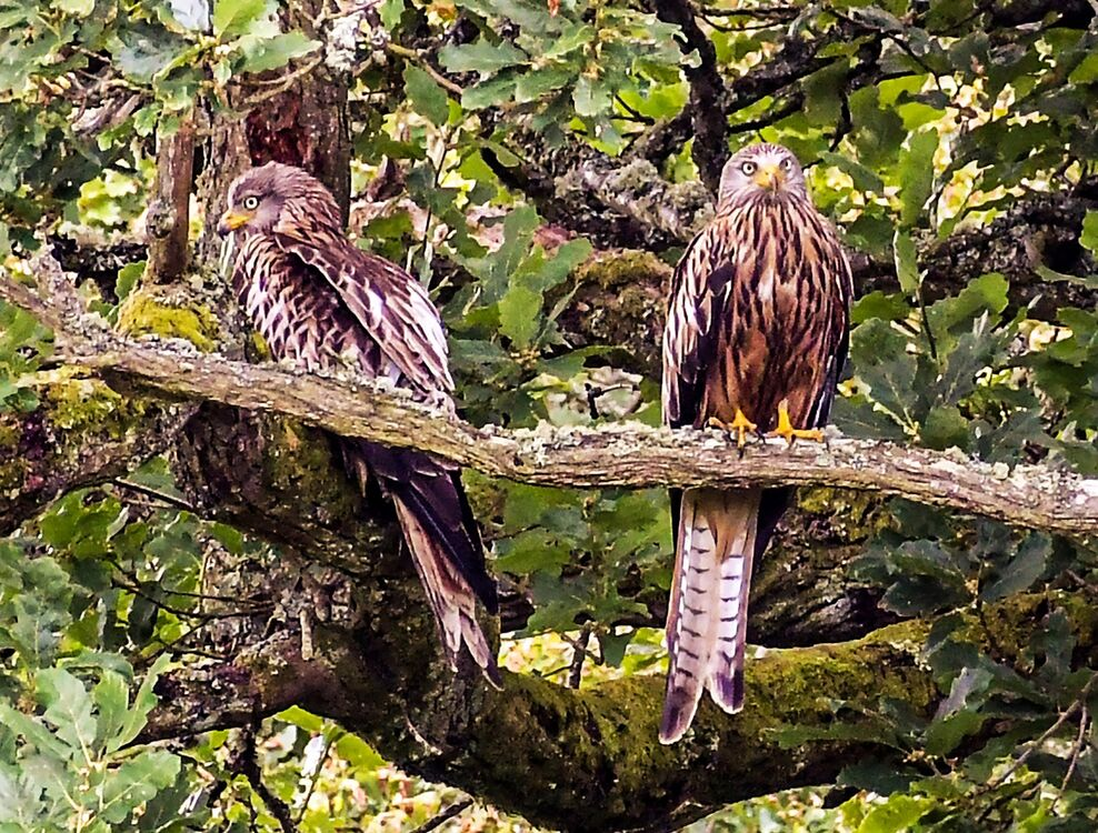 Red Kites camouflaging in tree