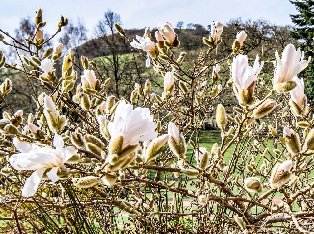 Magnolia blossom in May 2021